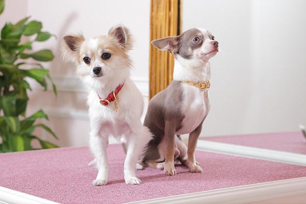 犬 首輪 おしゃれ 超小型 チワワ犬 首輪 おしゃれ