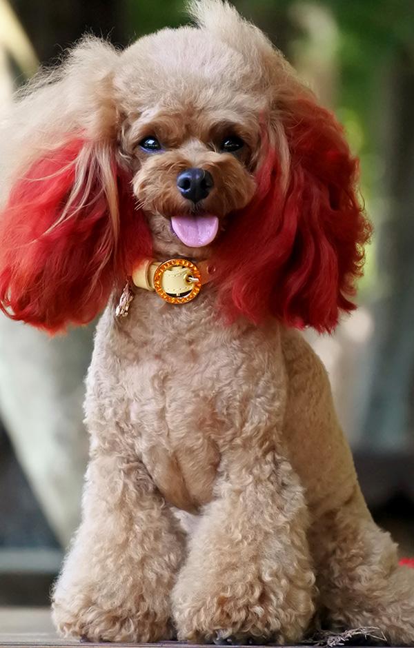犬 首輪 かわいい プードル 着用